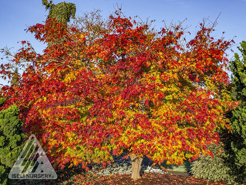 Acer Arctic Jade - Autumn tree