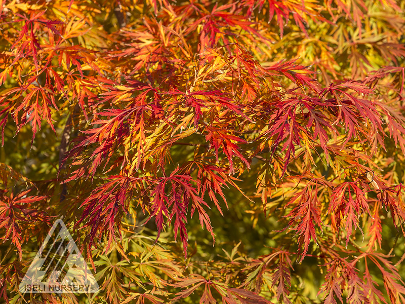 Acer Ice Dragon - autumn leaves