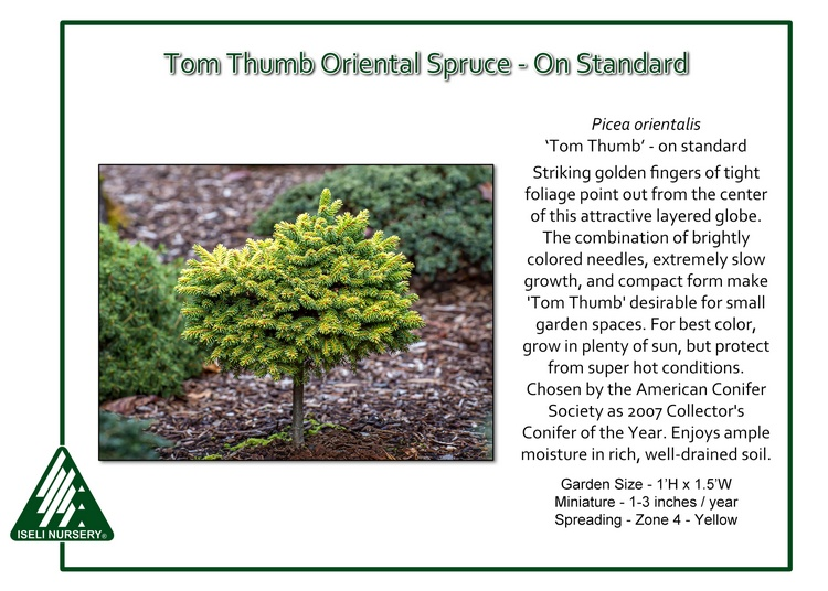 Picea orientalis 'Tom Thumb' - standard