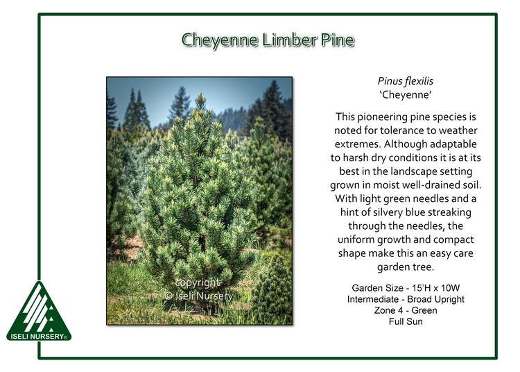 Pinus flexilis 'Cheyenne'