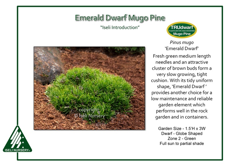 Pinus mugo 'Emerald Dwarf'