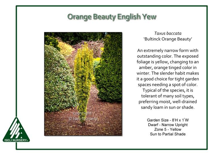 Taxus baccata 'Bultinck Orange Beauty'