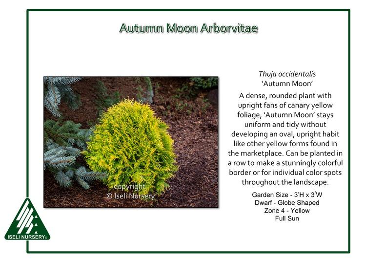 Thuja occidentalis 'Autumn Moon'