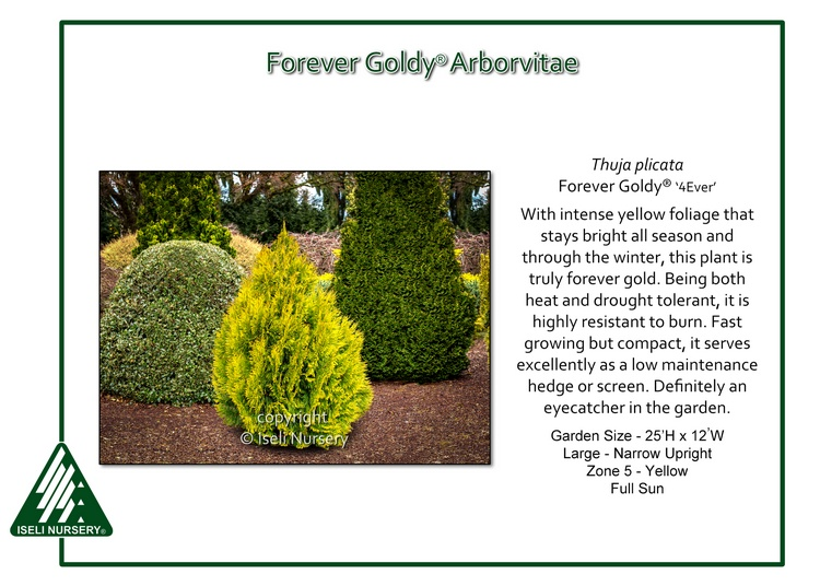 Thuja plicata Forever Goldy®