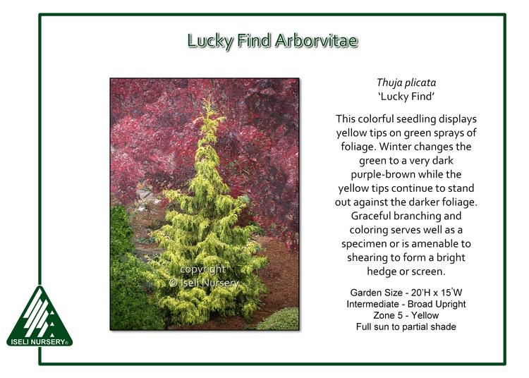 Thuja plicata 'Lucky Find'